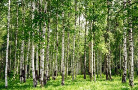 Birch leaves: medicinal properties, use and contraindications. What are the useful birch leaves?